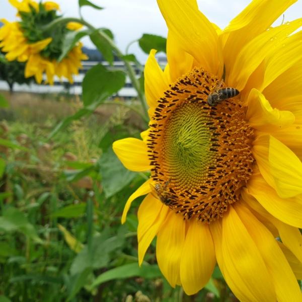 Bienenwiese Blumeninfo 3