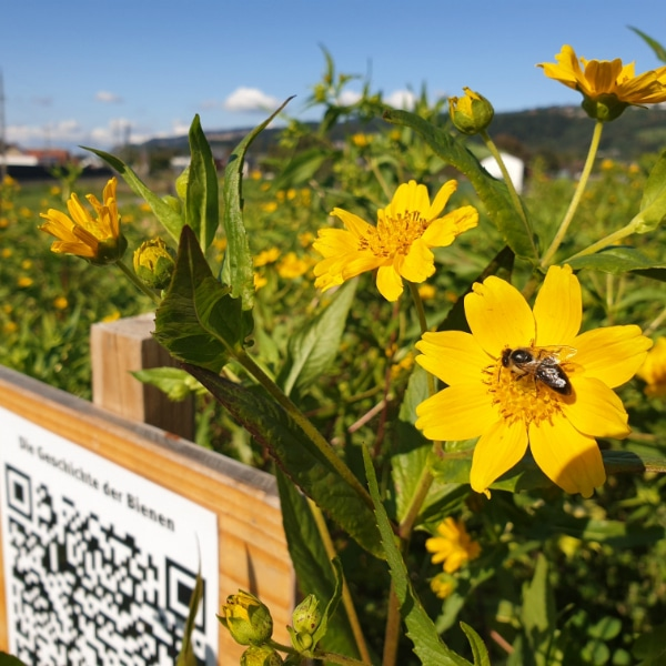 Bienenwiese Blumeninfo 2