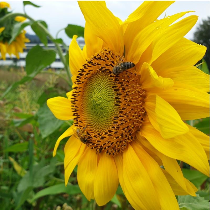 VOLhighspeed Bienenwiese Sonnenblume