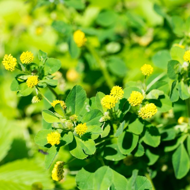 VOLhighspeed Bienenwiese Hopfenklee