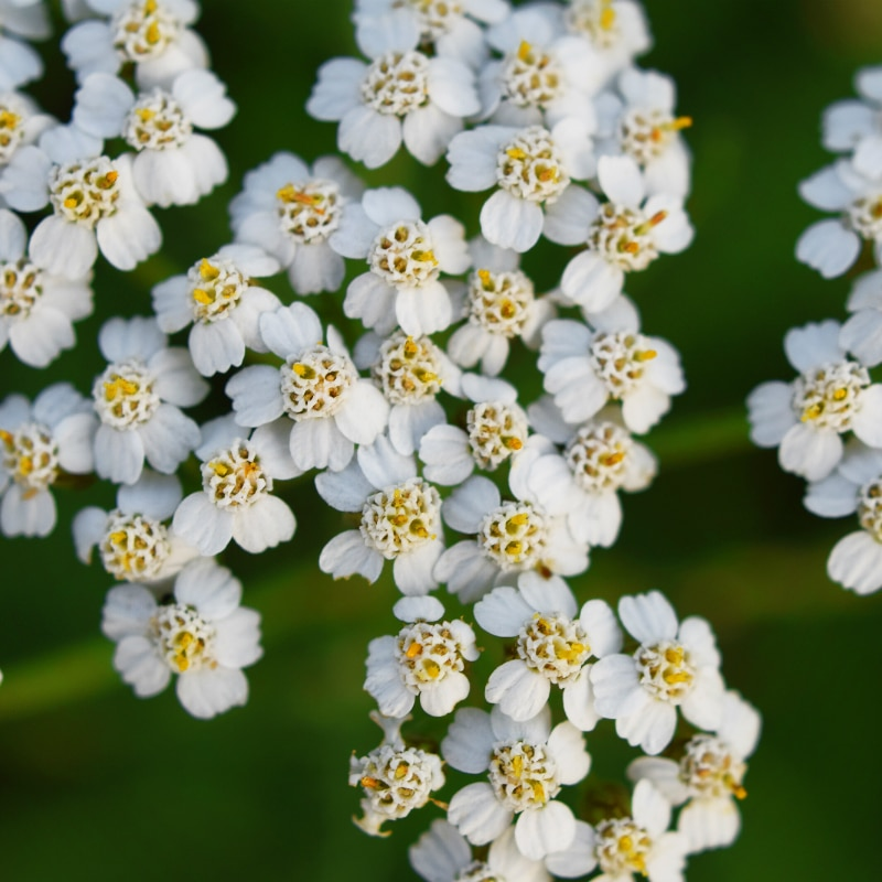 VOLhighspeed Bienenwiese gewöhnliche Schafgarbe