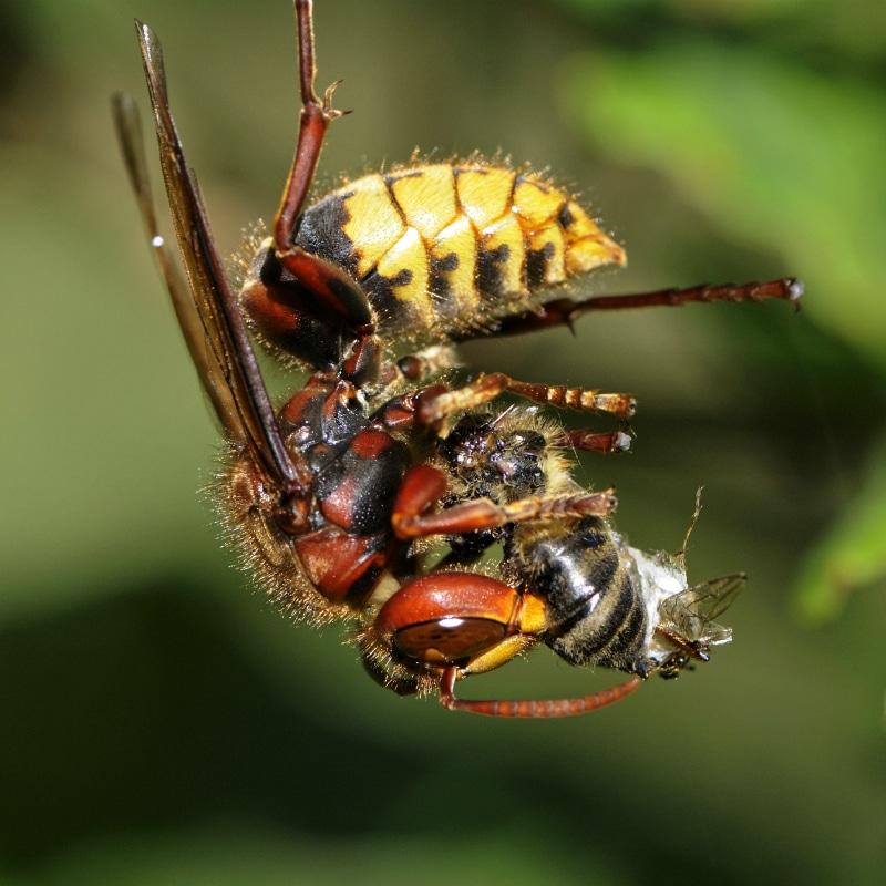 VOLhighspeed Geschichte der Bienen Wespe