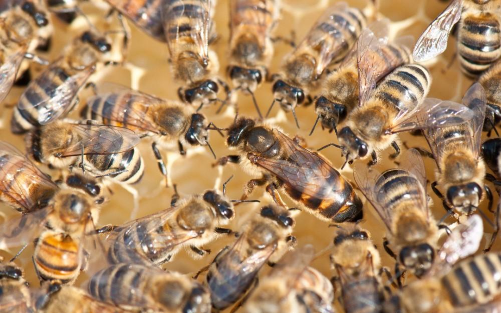 Das Leben einer Bienenkönigin