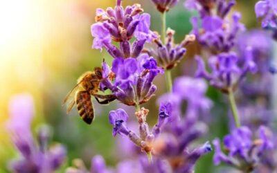 Auf diese Kräuter fliegen Bienen