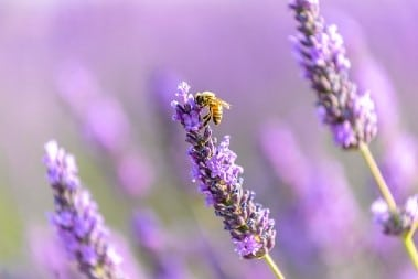 Lavendelblütenhonig