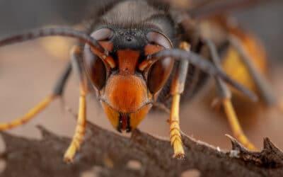 Achtung: Asiatische Hornisse – ist unsere geliebte Honigbiene gefährdet?