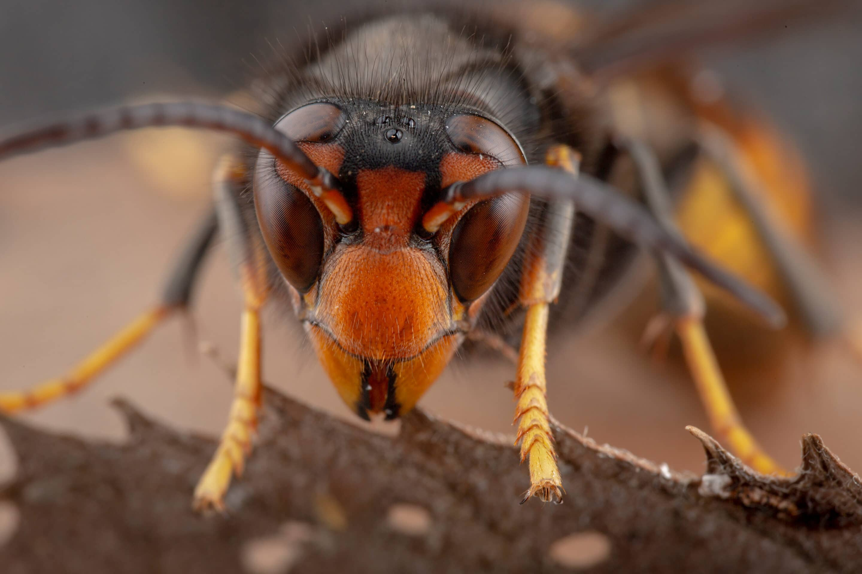 Asiatische Hornisse versus Honigbiene