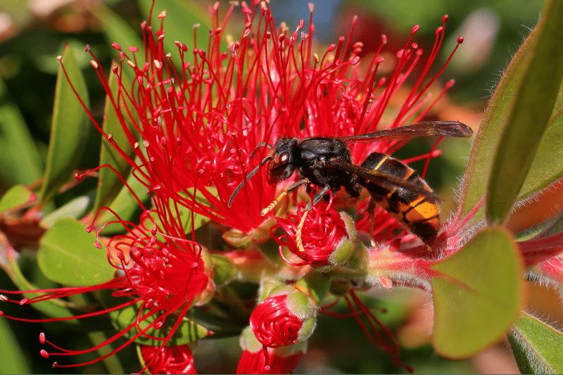 Achtung: Asiatische Hornisse - ist unsere geliebte Honigbiene gefährdet? 1