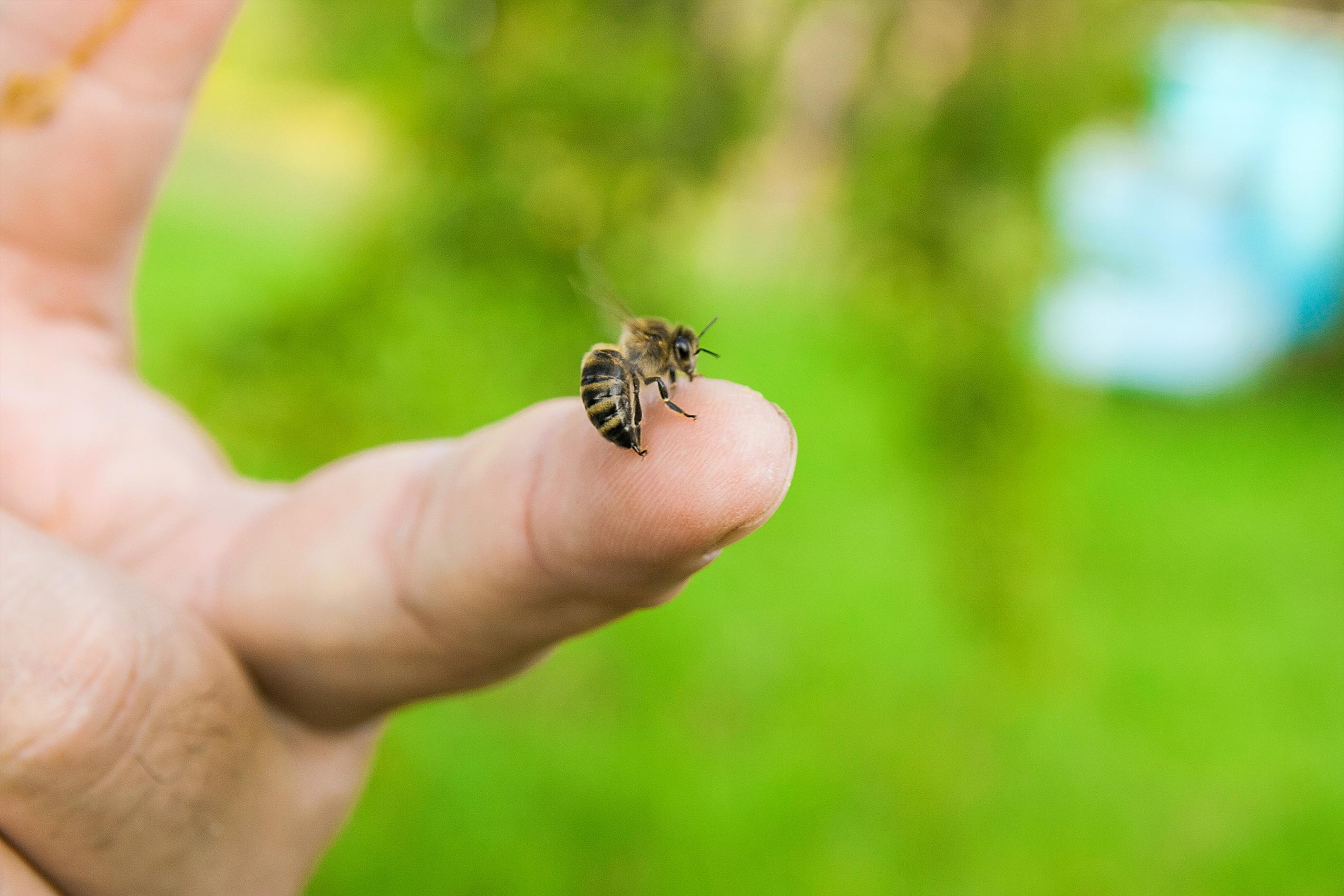 Bienenstich richtig behandeln - 5 Hausmittel 5